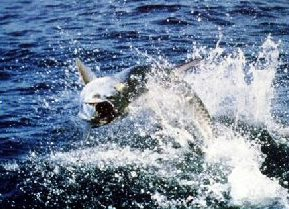 NC Tarpon Fishing Guide